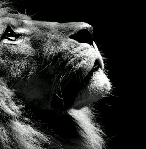 El león y losgatos.