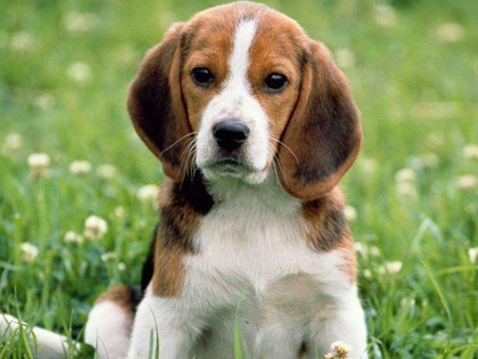 Mi Beagle Molly